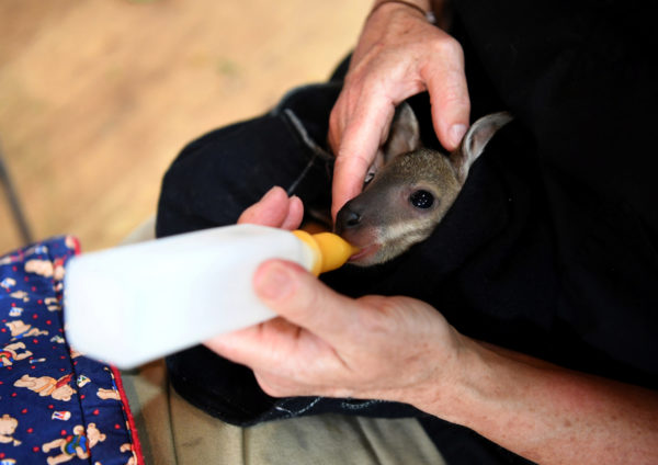 A kangaroo joey is fed at the emergency response wildlife shelter in Mallacoota, Victoria, Australia. Photo by Tracey Nearmy/Reuters